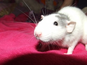Cotton was Char's rat racer in our event.